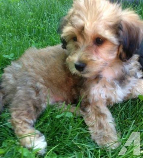 yorkie bichon mix puppies for sale in pa miniature poodle mix puppies for sale in de md ny nj philly dc and breeds picture