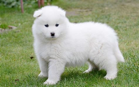 how much are samoyed puppies samoyed puppies breed information puppies for sale