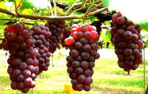 Benih Buah Anggur jual benih bibit anggur biji tanaman buah anggur merah