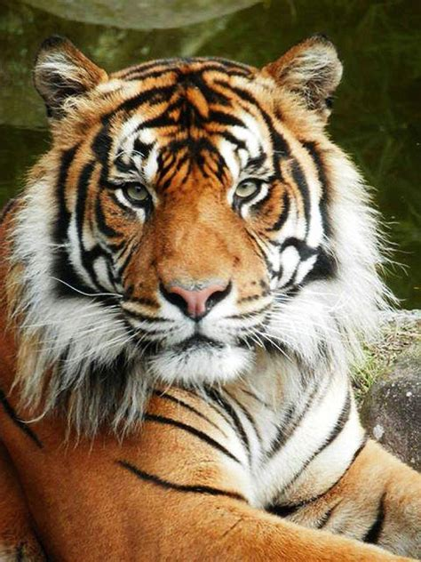 new year animal tiger zookeeper killed by tiger in new zealand officials ny