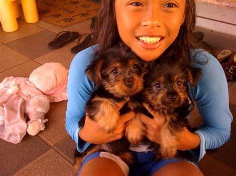 puppies for sale honolulu australian silky terrier puppies 9 weeks 650 for sale adoption from waialua hawaii