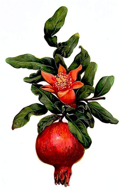 fiore melograno il melograno 232 l albero mentre la melagrana 232 il frutto
