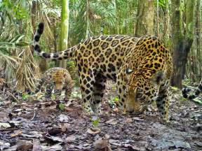 Show Me Pictures Of Jaguars Pictures Jaguars Spotted On Plantation A