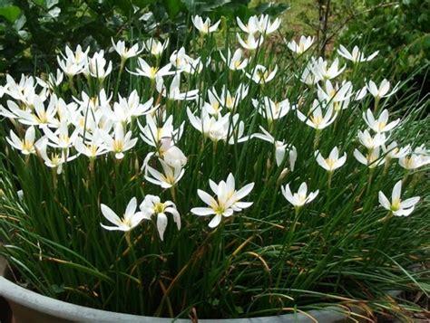 Tanaman Bunga Zephyrantes Putih menanam dan budidaya tanaman zephyranthes bibitbunga