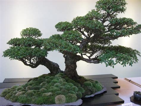 piante bonsai da interno bonsai perde foglie bonsai malattie bonsai