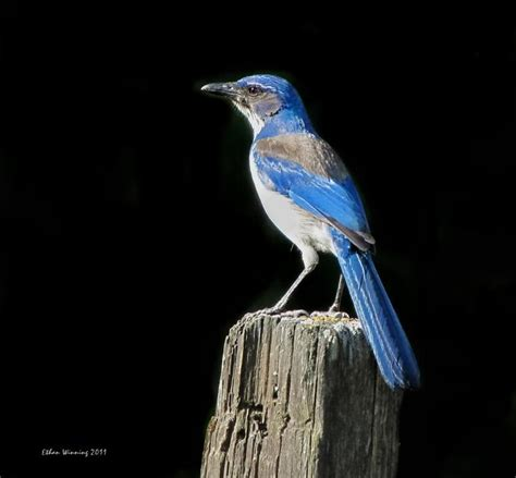 13 best images about beautiful western scrub jay