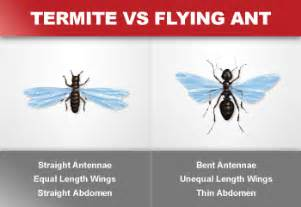 Ways to distinguish flying termites swarmers from winged ants