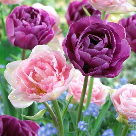 martha stewart living tulip angelique tulip blue diamond
