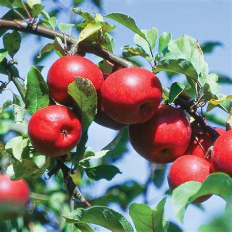 apple zone starkspur 174 red rome beauty apple apple trees stark bro s