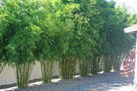 bamboo backyard privacy 25 best clumping bamboo ideas on pinterest growing