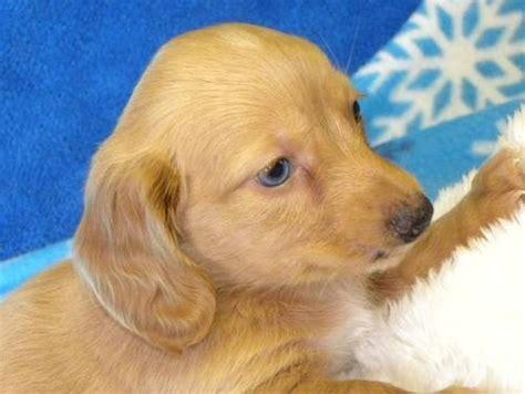 dachshund puppies arkansas blue eyed colored longhair dachshund puppy for sale in hartford arkansas