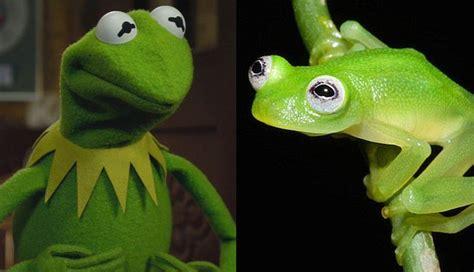 imagenes de la rana rene con doble sentido 191 la rana ren 233 encontr 243 a su doble en la vida real fotos