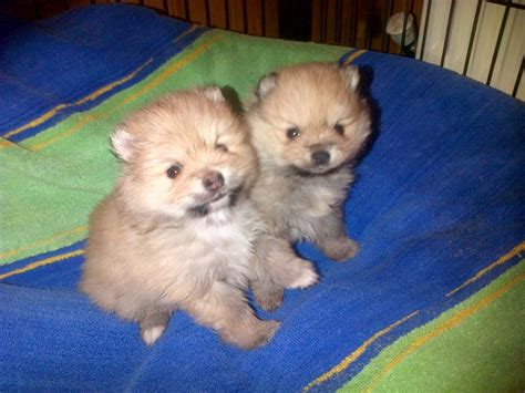 haired pomeranian puppies for sale miniature pomeranian puppies for sale uk