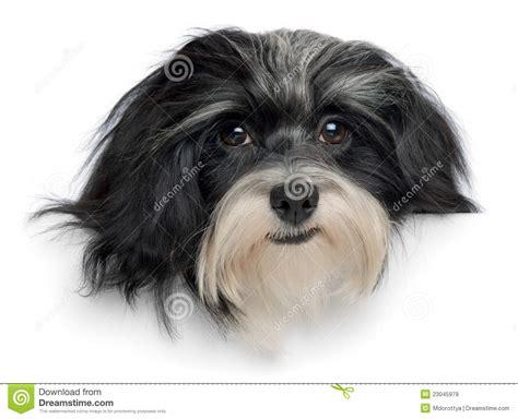 perro havanese pista de perro havanese sonriente de perrito im 225 genes de archivo libres de regal 237 as