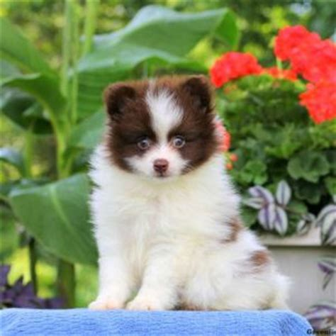 pomeranians for sale in maryland pomeranian puppies for sale greenfield puppies