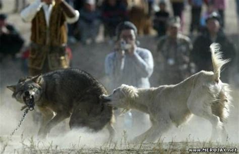 puppy vs real pitbull vs wolf real fight wolf vs why because