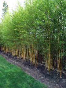 bamboo landscaping phyllostachys aureosulcata spectabilis