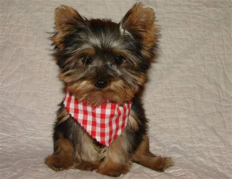yorkie teacup puppy dogs teacup terrier puppies