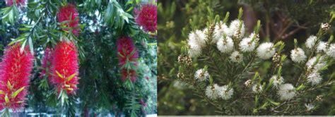 Minyak Kayu Putih Yang Kecil foto spesies pohon minyak kayu putih bunga merah oleh