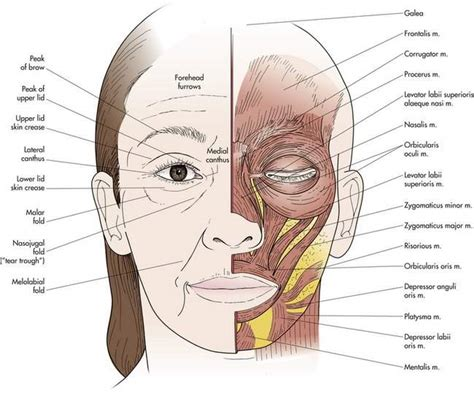 What Do The Notes In The Surgery Section Indicate by Image Gallery Periorbital Anatomy