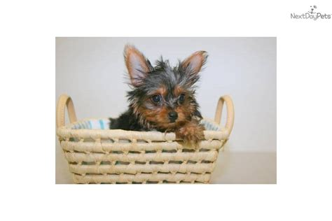 yorkie puppies for sale in joplin mo yorkie for sale joplin mo breeds picture