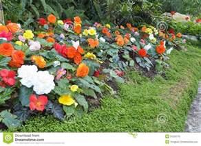 Garden Begonia Begonia Flower Garden Stock Photo Image 31525170