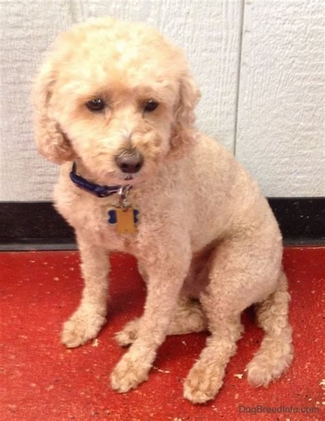 mini poodle info miniature poodle breed information and pictures