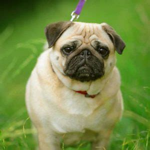 healthy food for pugs best food for pugs what to feed your pug feeding tips