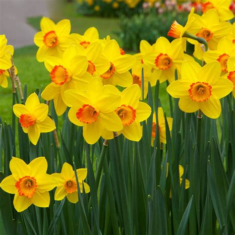 what color is daffodil 100x mixed colors daffodil narcissus flower bonsai seeds