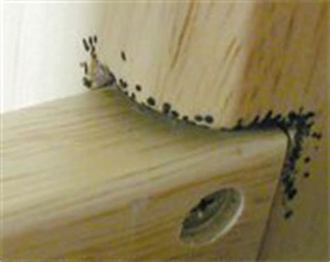 how to find bed bugs during the day about bed bugs dead bed bugs