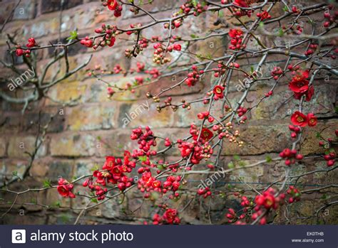 Against A Brick Wall japanese quince chaenomeles superba growing against a