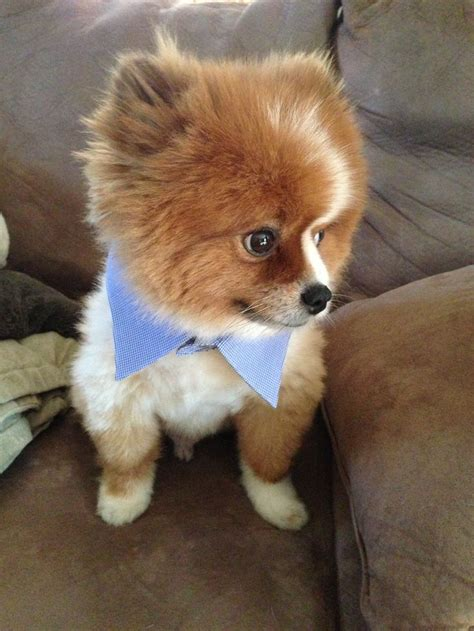 pomeranian collars 17 best images about pommies on cutest dogs pomeranian dogs and pom poms