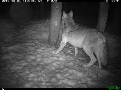 hd trailcam pictures of wolves in winter state evidence suggests new wolf may be in california s lassen county