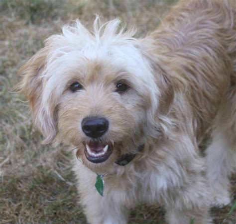 your doodle puppy year daisey s doodles seattle and artie s f2 mini medium