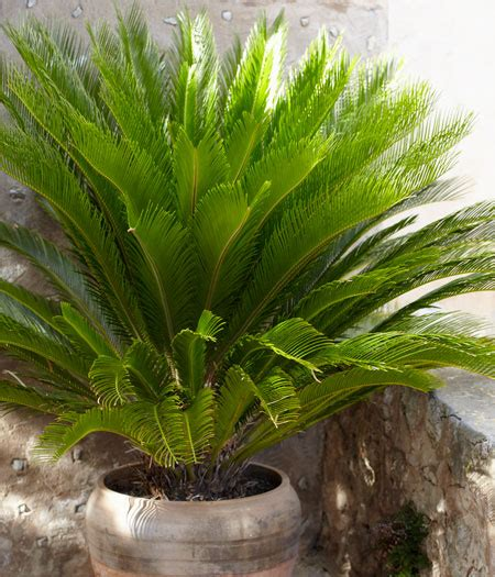 sago palm tree sago palm trees for sale fast growing trees - Sago Palm For Sale