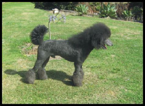 how to get a ponytail on a poodle poodles page 11 german shepherd dog forums