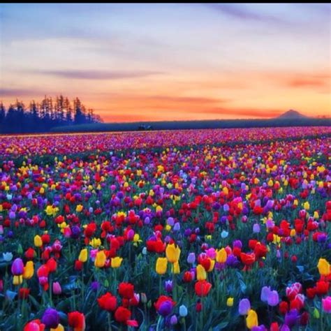 netherlands tulip fields tulip field colorful colors pinterest tulip fields