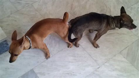 dogs mating mirella mini pinscher mating and get stuck mating tie