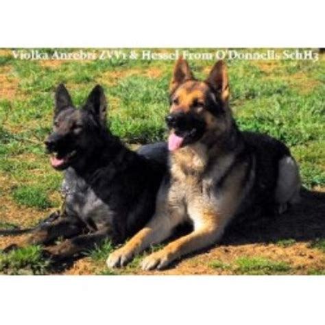german shepherd puppies nc german shepherd gsd alsatian breeders in carolina freedoglistings