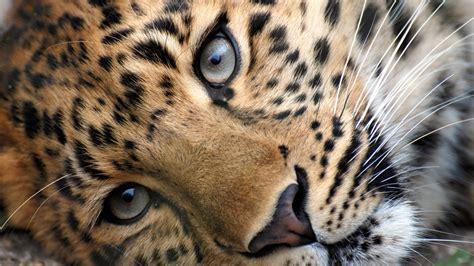 wallpaper apple leopard leopard free download hd wallpapers 8065 amazing wallpaperz