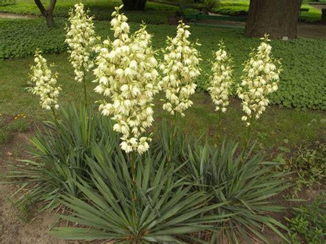 garten yucca schneiden palmlilie pflege