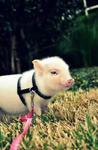 pot bellied pig pet 56 best images about pot belly pigs on