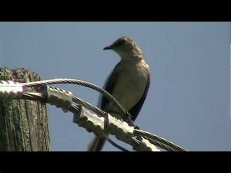 calls of the northern mockingbird youtube