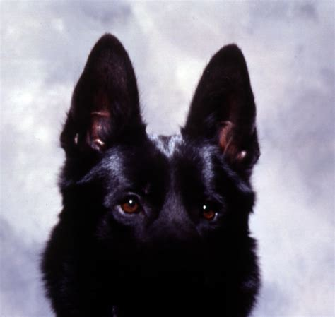 how much does a trained protection cost how much do protection dogs cost find out from wayne simanovich