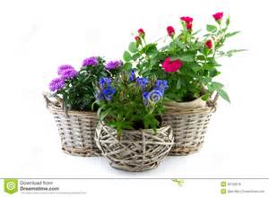 Patio Roses For Sale Garden Plant In Reed Basket Royalty Free Stock Photos