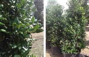 Nellie r stevens holly trees for sale fannin tree farm