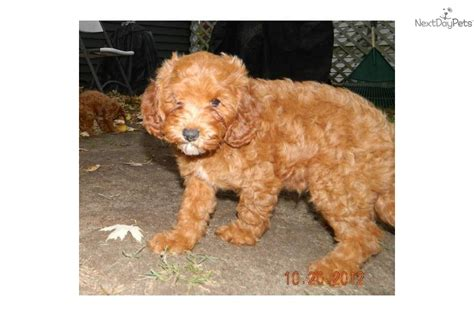 cavapoo puppies for sale in indiana meet a cavapoo puppy for sale for 525 cavapoo boy in northeast indiana