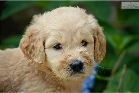 goldendoodle puppy names meet a goldendoodle puppy for sale for 1 100