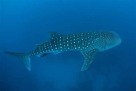 ningaloo whale shark and dive ningaloo reef australia s home of whale sharks