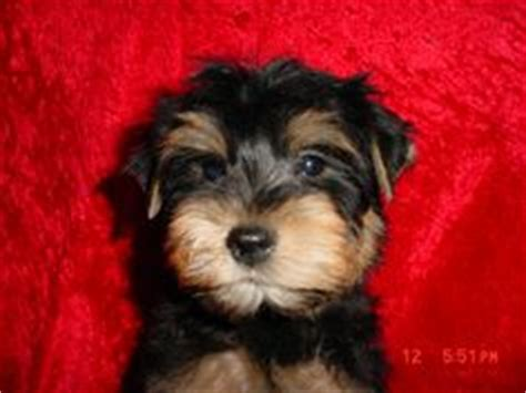 half schnauzer half yorkie i dig my dogs on 991 pins